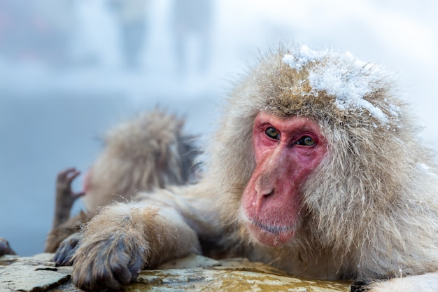 Снежная обезьяна макак онсен