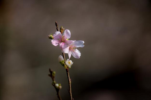Сакура вишни в цвету