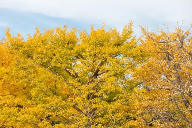 イチョウの木秋