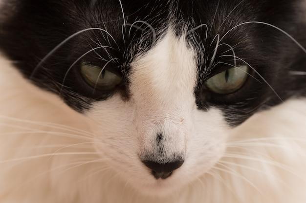黒い鼻を持つ美しい黒と白猫のクローズアップ