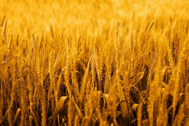パンジャブ文化の麦畑の写真。