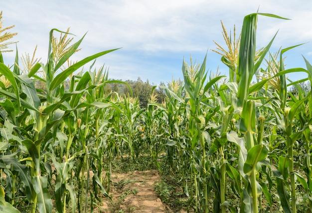 青い空に緑のトウモロコシ畑