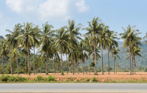 Плантация кокосовых пальм
