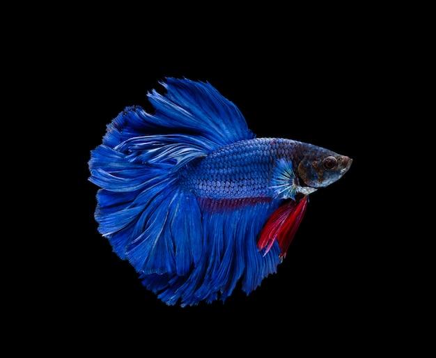 Супер синий полумесяц сиамские боевые рыбы, изолированных на черном фоне