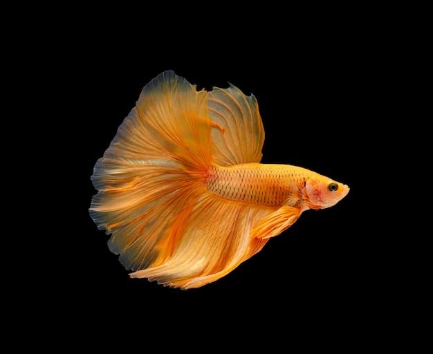 Супер оранжевый полумесяц сиамские боевые рыбы изолированы