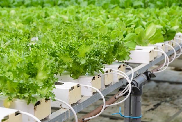 フリースアイスバーグリーフレタス野菜農園のクローズアップ