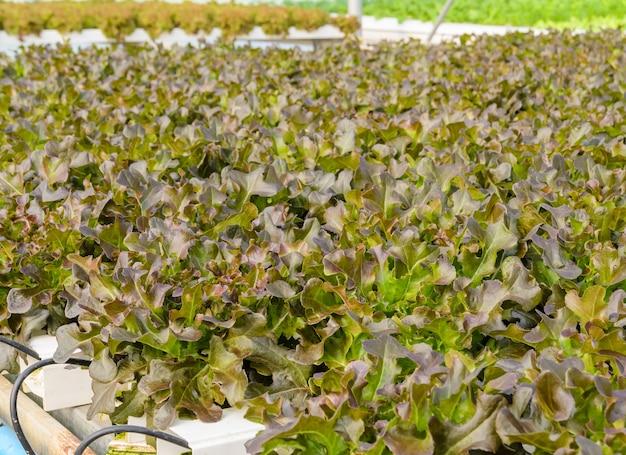 レッドオークの葉のレタス水耕野菜プランテーション