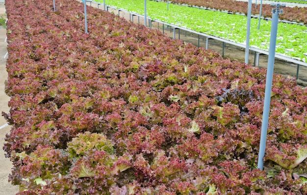 水耕栽培の赤い葉のレタス野菜