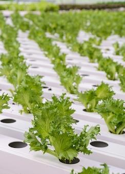 フリーアイスバーグの葉レタス野菜農園のクローズアップ