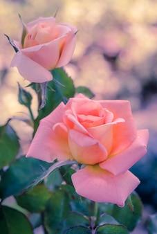 Розовая гибридная роза, винтажный эффект фильтра