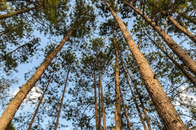 針葉樹の天蓋に松林の梢を見上げる