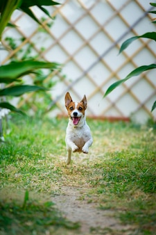 Джек рассел терьер собака бегает и прыгает на заднем дворе.