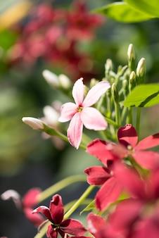 屋外の庭の美しいピンクと赤のラングーンクリーパーの花