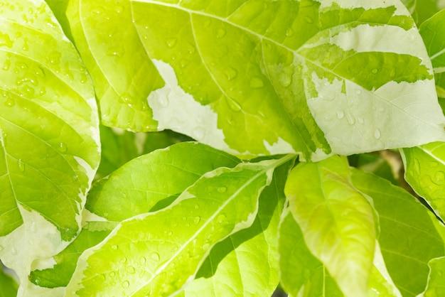 朝の明るい背景に美しい緑の葉と水滴