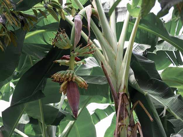 バナナの花が庭のバナナの木から垂れ下がる、ビーガンの高タンパク栄養