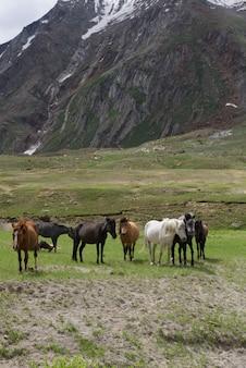 草原、ジャンムーカシミール、北インドの美しい馬のグループ