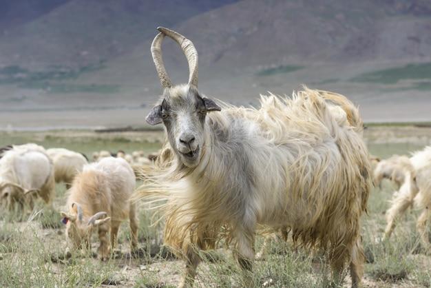 美しいインドの風景の中のカシミールのヤギ