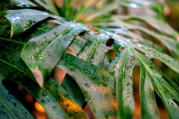 ジャングルの雨滴と熱帯雨林の大きな熱帯リー