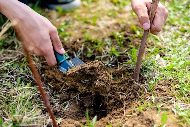 土壌中の庭師植物ブドウ枝を閉じる