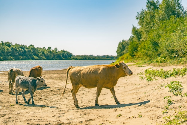 緑の森の近くの砂地のフィールド上を歩く牛の束。