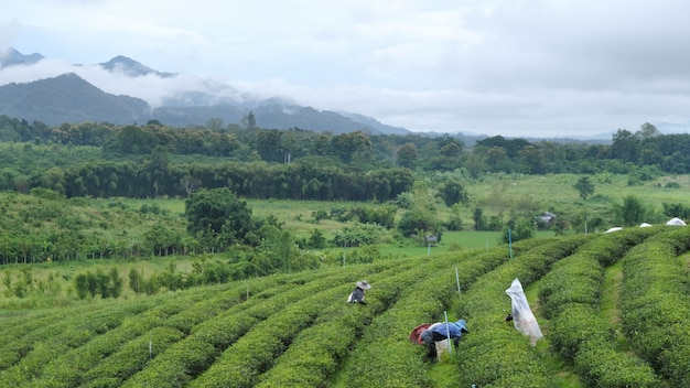 茶畑の茶葉を摘み農家