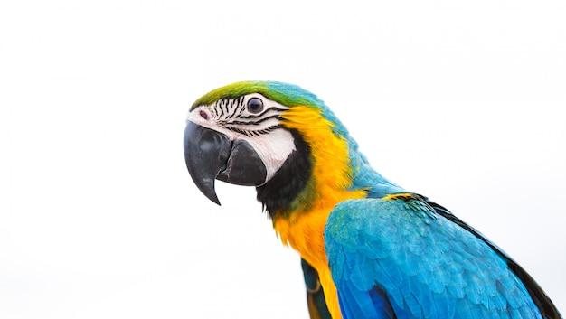 Голубой ара попугай