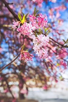 デンマークの桜の花