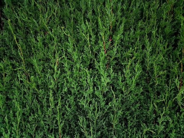 自然の松の枝の背景