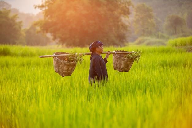 タイの田舎で米を収穫するタイの女性農民、農家の日没の日に緑の野原を歩く、アジアの古い女性のコンセプトのライフスタイル。