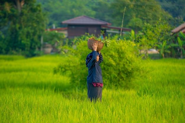 ミャンマーの農家や緑米、地元の農家が水田で働いています。