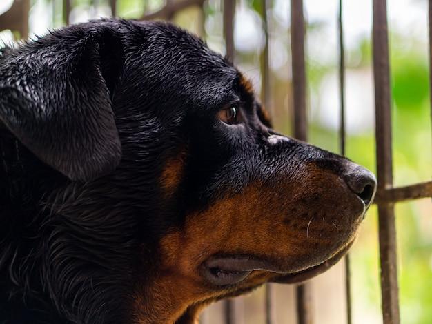 Ротвейлерская порода собак смотрит в ворота