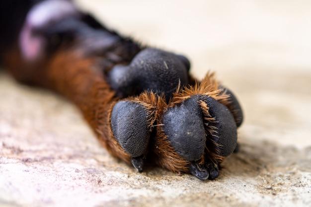 Ротвейлер породы собак лапы крупным планом