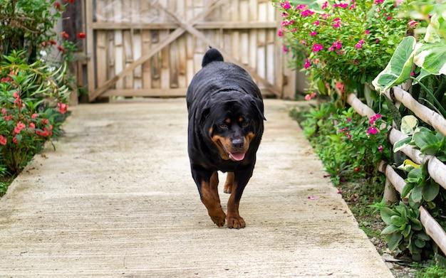 Собака породы ротвейлер гуляет возле сада