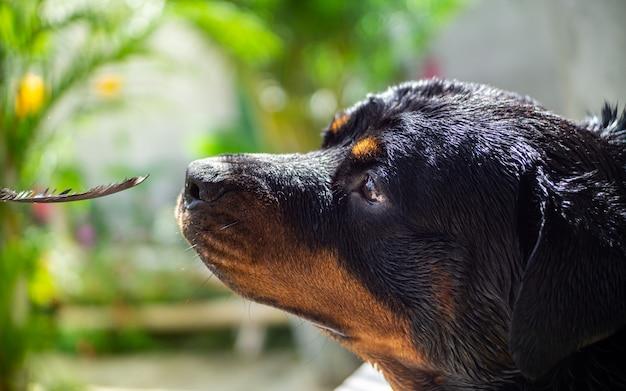 Ротвейлер порода собак играет с пером в саду