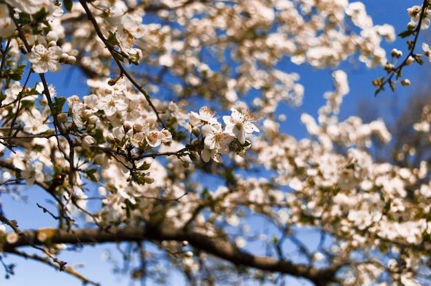 開花チェリーと庭で春。