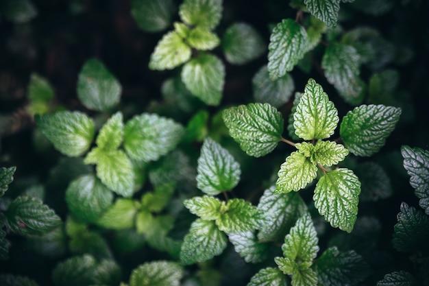Зеленая мята листья фон.