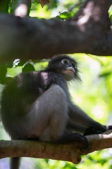 森の中の木の枝に座っている薄暗いラングール猿。