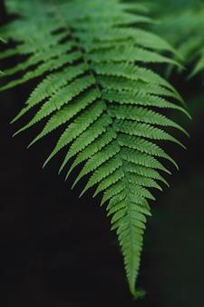 緑のシダの葉のクローズアップ。