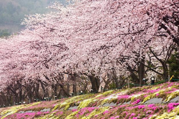 Вишневое цветение в полном цвету с розовым мхом на северном берегу озера кавагутико