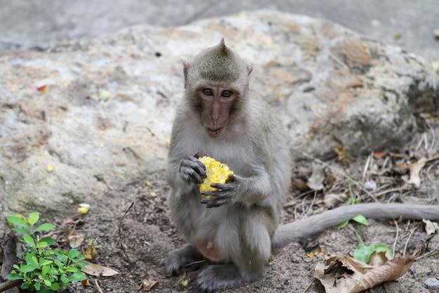 Самец обезьяны садится и ест кукурузу в саду в таиланде