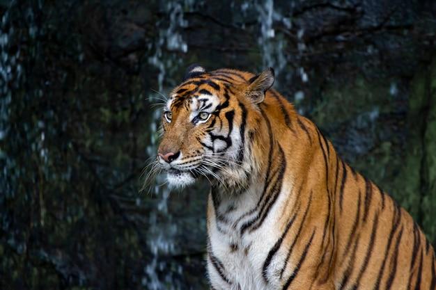 Крупным планом тигра садятся перед водопадом тона темного.