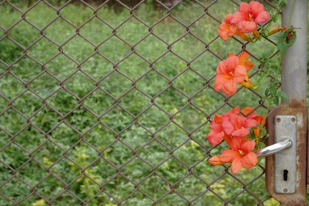 古いドアとケージはオレンジ色の花を閉じる