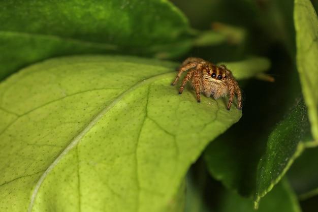 Закройте вверх по пауку скачки макроса на зеленых лист в природе на таиланде