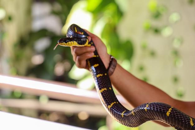 クレイトヘビのクローズアップ