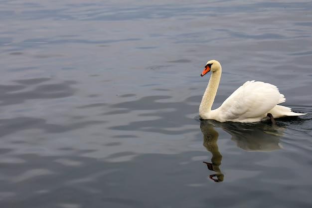 Крупный белый лебедь на реке