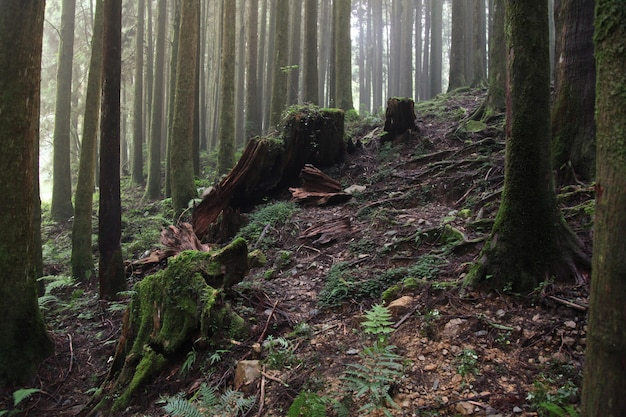 台湾の阿里山国立公園エリアで大きな木