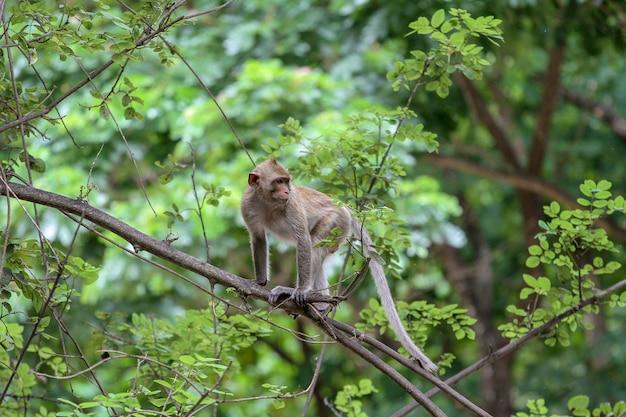 タイで自然の中の枝木に猿停止