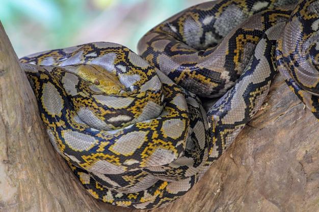 タイの棒の木に体の頭ビルマニシキヘビ