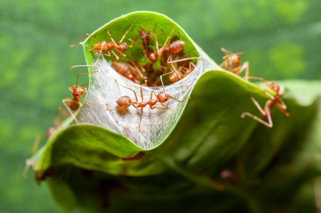 緑の葉の赤いアリの巣のための赤いアリガードを閉じる
