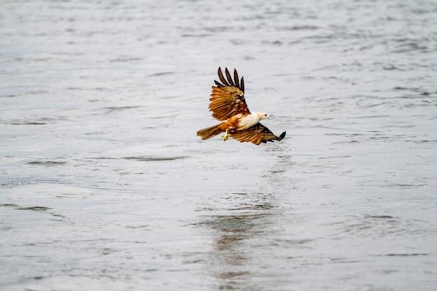 タイで自然の中で海を飛ぶ赤いワシ